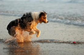Photographer Los Angeles - Australian Shepherd Dog Picture
