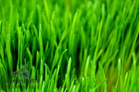 Photographer Los Angeles - Wheatgrass