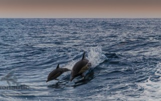 Dolphin Stock Photo Mother & Calf – Santa Barbara Channel