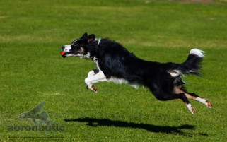 Border Collie Stock Photo - Leaping Border Collie