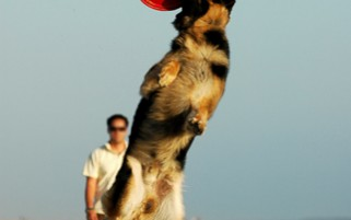Dog Stock Photos - German Shepherd Catching Frisbee