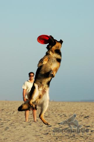 Dog Stock Photos - German Shepherd Catching Frisbee