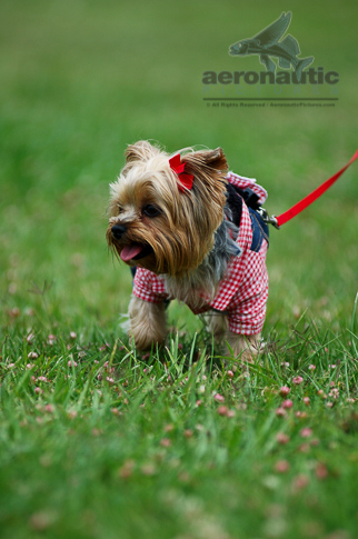 Dog Stock Photos Funny Yorkshire Terrier Picture - Yorkshire Terrier Stock Photos