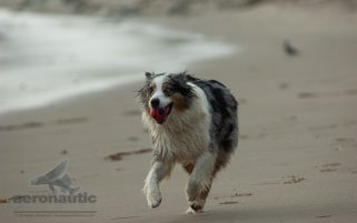 Dog Stock Photo - Australian Shepherd Running at the Beach