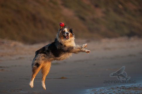 Dog Stock Photo - Australian Shepherd at the Beach Playing Fetch