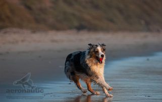 Dog Stock Photo - Australian Shepherd at the Beach with a Ball i