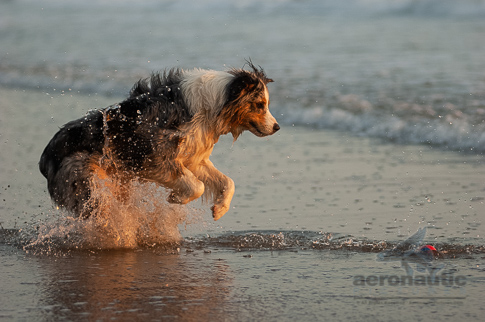 Dog Stock Photo - Australian Shepherd Chasing Ball in the Water