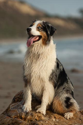 Dog Stock Photo - Australian Shepherd Full Body