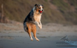 Dog Stock Photo - Australian Shepherd Jumping to Fetch a Ball