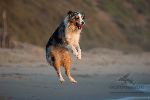Dog Stock Photo - Australian Shepherd Jumping to Fetch a Ball