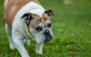 Dog Stock Photo - A Bulldog at the Dog Park