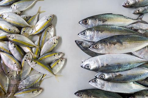 Food Stock Photo - Indian Mackerels & Yellowstripe Scad Fish Download